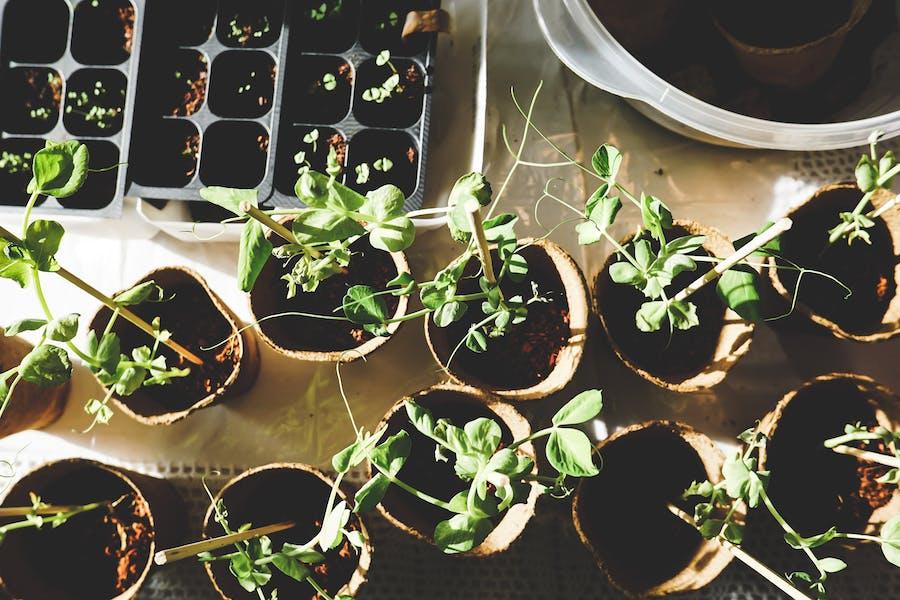 des plantes et semis de pantes aromatiques